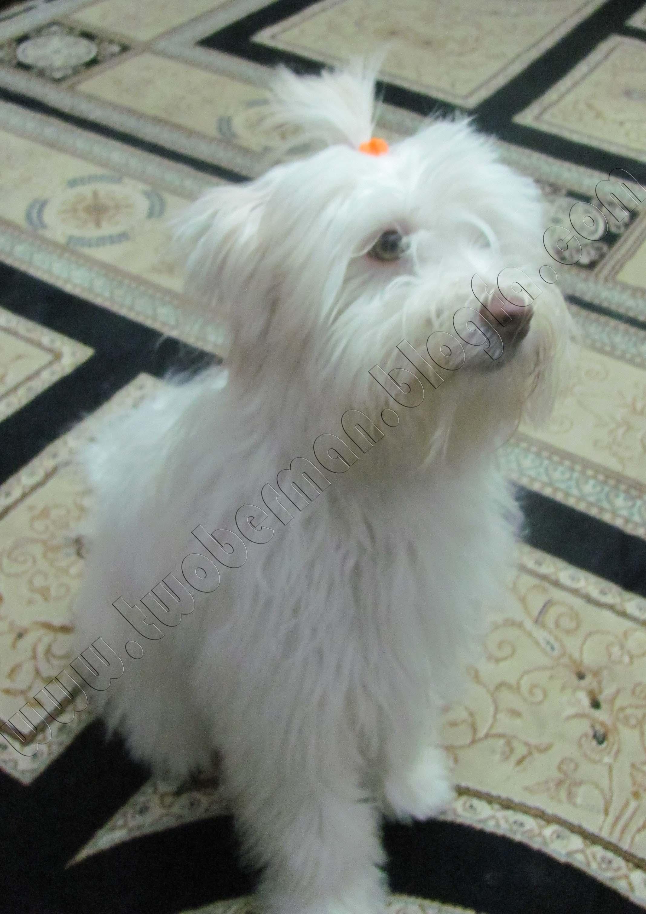 عکس سگ اشپیتز تریر